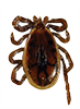 Blacklegged / Deer Tick - male
