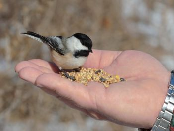 Hungry Little Chickadee